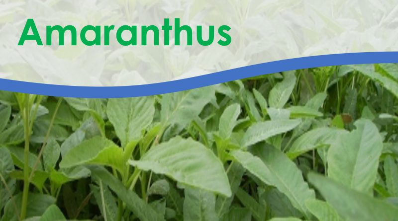 Grain amaranth is drought tolerant crop and has few pests and diseases. It has multiple uses as a vegetable, nutrient rich grains and livestock feed.