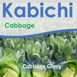 Cabbage Seeds: Cabbage Glory