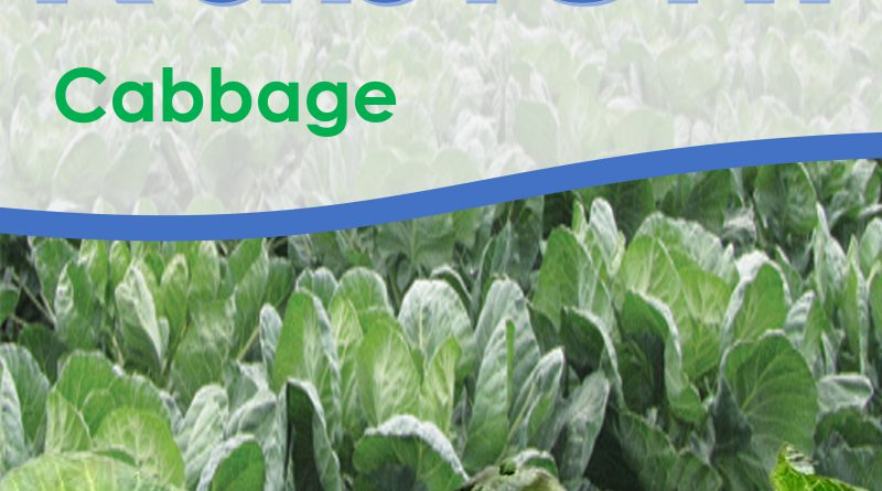 Cabbage Glory is an excellent, easy to grow, early variety that is tender and crisp. It have medium-large, hard round heads with light green in colour.