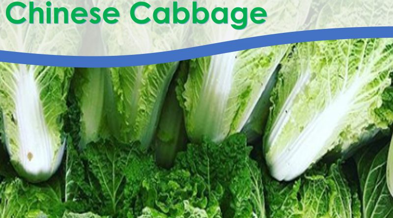 Michihili Chinese Cabbage is tender, crisp and sweet, with a pleasant spicy flavour with early medium maturity.